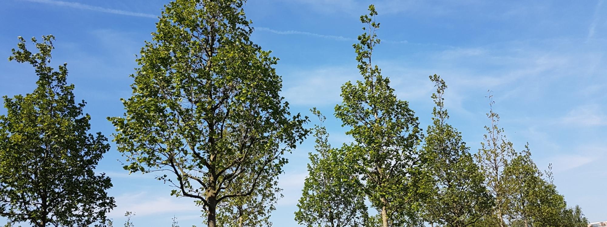 Stratford Trees 2